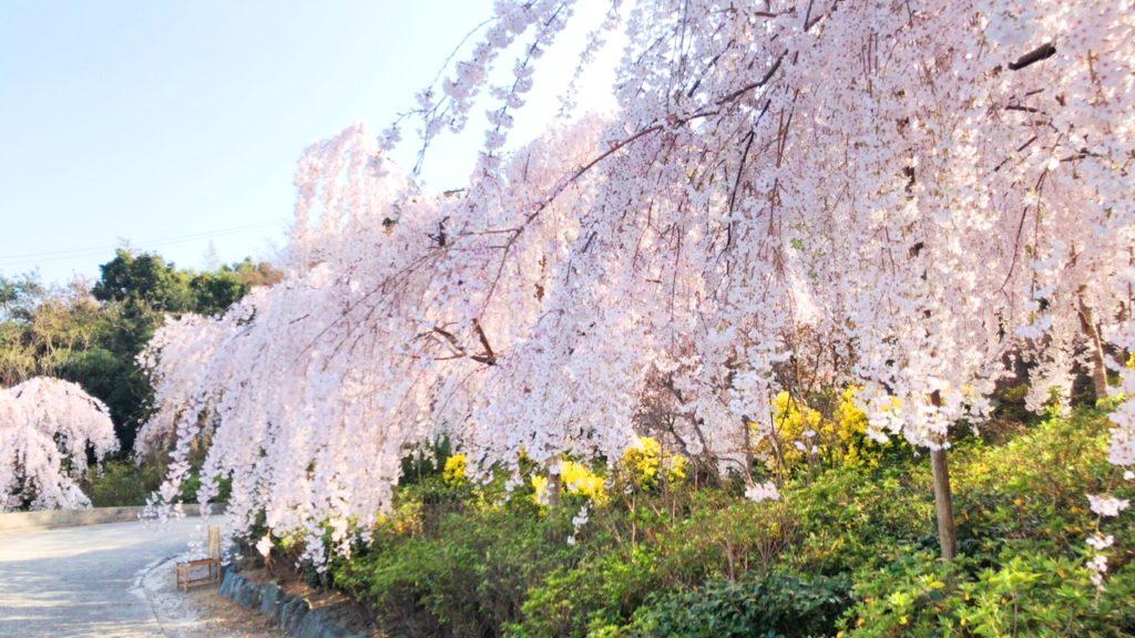 徳島の花見名所「しだれ桜」は日本一!明石大橋からすぐ?