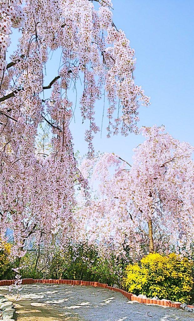 大塚国際美術館観光 しだれ桜